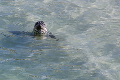_DAK5189_0336 copy (Debbie Fortuna Keener) Tags: san diego la jolla seal