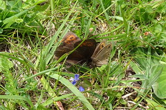 Erebia medusa Gd Comlombier -01- 2017 06 10 i (Froggy Birder) Tags: papillon rhopalocères butterfly erebiamedusa ain