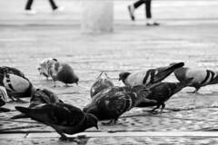 Bipedi - Bipeds. (sinetempore) Tags: bipedi bipeds biancoenero balckandwhite uccelli birds piccioni pigeons street torino turin piedi walking pavimento floor
