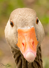 You looking at me?? (Dan Elms Photography) Tags: goose geese abberton wildlife wildfowl bird birdlife beady eyes nature