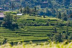 IMG_0585 (Ela&Piotr) Tags: bali indonesia indonezja jatiluwih ricefields