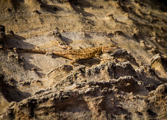 Capitol Reef Lizard (toddwendy) Tags: capitolreef utah nationalpark lizard wildlife reptile animal desert