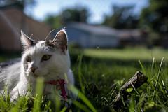 Nemo in the Sun (jlovdahl) Tags: cat kitten pet outdoors nemo grass yard summer day animals furry kitty sun perfect purrfect meow