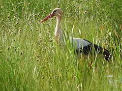 White Stork (Ciconia ciconia) 9-4-17 (Brian Carruthers-Dublin-Eire) Tags: ciconiiformes ciconiidae ciconia white stork cigogne blanche weissstorch ciguena blanca ooievaar ciconiaciconia whitestork cigogneblanche ciguenablanca bird animalia animal nature wildlife