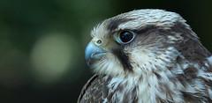 Saker falcon (pe_ha45) Tags: falcocherrug halcónsacre falcaosacre falcosacro fauconsacre sakerfalcon sakerfalke falke würgfalke leboisdesaigles