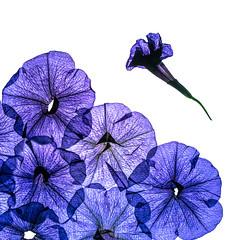 flattened (auntneecey) Tags: sliderssunday slide petunias driedflowers lightbox 365the2017edition 3652017 day176365 25jun17