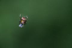 suspended (severalsnakes) Tags: kansas m1004macro pentax saraspaedy shawnee shawneemissionpark bug insect k1 raynox150 spider