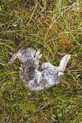 Scotland 2017 (agnes.saabythomsen) Tags: roadtrip turmedjannik bunny rabbit death deadrabbit kanin