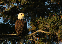 Bald Eagle...#6 (Guy Lichter Photography - 3.6M views Thank you) Tags: canon 5d3 canada manitoba hecla wildlife animal animals bird birds eagle eagles baldeagle