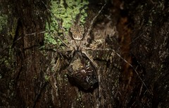 Tamopsis fickerti (dustaway) Tags: arthropoda arachnida araneae araneomorphae hersiliidae tamopsis tamopsisfickerti longspinneretbarkspider spiderwithprey tullerapark tullera northernrivers nsw australia australianspiders nature natur spinne araignee