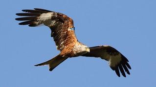 Sunlit Red kite