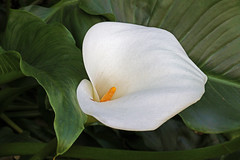 White Calla Lily in full bloom (Mr. D 2012) Tags: white lily flower nature bloom calla floral natural yellow background flora spring blossom beautiful plant beauty lilly blooming petal elegant fresh blossoming elegance garden cut lovely landscape outdoor fullbloom greenleaves leaves long growth wedding gardening