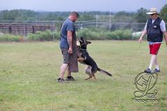 GSD-4375 (jim_lamy) Tags: gsd ipo germanshepherd schutzhund workingdog