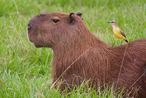 brazil-pantanal-caiman-lodge-capybara-wth-cattle-tyrant-copyright-thomas-power-pura-aventura