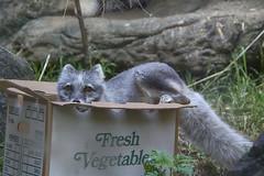 Fox in a box (ucumari photography) Tags: ucumariphotography arcticfox vulpeslagopus animal mammal nc north carolina zoo july 2017 dsc9579 specanimal