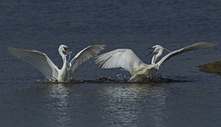 Egret's - My wing is bigger than yours!