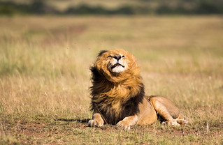 Scarface the Lion king - Masai Mara Kenya