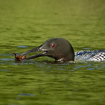 Loon Crayfish Catch thumbnail