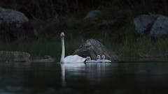The midnight swan (uusija) Tags: cygnuscygnus whooperswan bird laulujoutsen linnut luonto nature