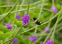Purple-throated Woodstar ---- Calliphlox mitchellii (creaturesnapper) Tags: ecuador mindo southamerica birds hummingbirds purplethroatedwoodstar calliphloxmitchellii flickrbirds