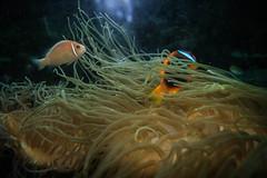Anemone (Josué Godoy) Tags: anemone clownfish fish pez payaso poisson clown pezpayaso poissonclown anemona australia