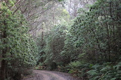 Blanket Leaf (Bedfordia arborescens) (Poytr) Tags: bedfordiaarborescens bedfordia asteraceae cooltemperaterainforest blanketleaf arfp nswrfp vrfp trfp brownmountain nimmitabel nsw
