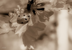 Always be like a ladybug (babs van beieren) Tags: 7dwf crazytuesday fullhouse ladybug sepia monochrome leaves macroorcloseup closeup