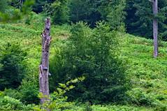 L'arbre mort. (Phil du Valois) Tags: arbre forêt bois chablis wood forest tree mort taillis coupe