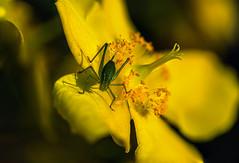 Mme Sauterelle (Francois Le Rumeur) Tags: nikon macro 105 hd 4k nature insect insecte flower millepertuis fleur jaune yellow colorful