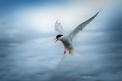Arctic Tern (Nickerzzzzz - Thanks for stopping by :)) Tags: ©nickudy nickerzzzzz theartofphotography wwwdigittaliacom canoneos70d ef50mmf18stm photograph seaswallow bird beak wildlife wings bif flight nature feathers animal outdoor sternaparadisaea arctictern farneislands