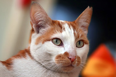 Sweet Teun (katjacarmel) Tags: cat gato chat animal dier kat cute portrait colors eyes ginger