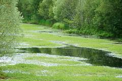 Envahissement de l'étang / Invasion of the pond (.Steph) Tags: invasion etang pond renoncule ranunculus eau water grebe oiseau bird nature