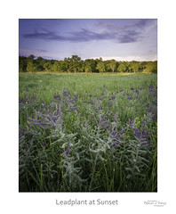 Leadplant at Sunset (baldwinm16) Tags: il illinois july mortonarboretum schulenbergprairie midwest praireplants prairie summer sunset nature natureofthingsphotography
