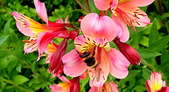 A BUMBLEBEE'S DELIGHT (Lani Elliott) Tags: nature naturephotography lanielliott flower flowers homegarden garden alstroemerias bee bumblebee insect macro upclose close closeup bokeh color colour colourful pink stamens bright light greenbackground brilliant gorgeous incredible