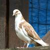 Sierduif op de kinderboerderij - Pigeon (Cajaflez) Tags: vogel bird oiseau pigeon duif dove fogel tauibe sierduif kinderboerderij dragonderpark veenendaal