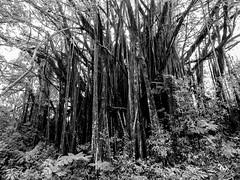 Akaka Banyan (dsc-photo.com) Tags: banyan akaka falls tree blackandwhite bw banyantree akakafallsstatepark hawaii island bigisland rainforest
