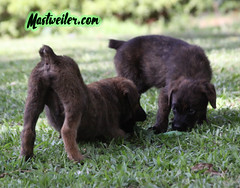 Ace & Tabasco, 8 Weeks (muslovedogs) Tags: mastweiler dog puppy rottweiler mastiff