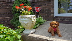 Halt!  Who Goes There? (tquist24) Tags: cavapoo goshen indiana samsung samsunggalaxys6 sicily animal cute dog flowers frontdoor puppy unitedstates