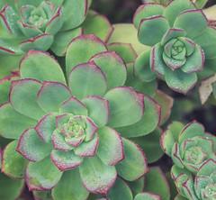 Succulents, Lands End, San Francisco (Sharon Mollerus) Tags: sutropark pointlobos sanfrancisco california unitedstates us cfpti17