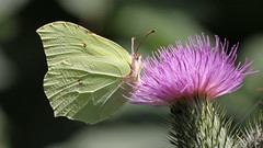 brimstone (bugman11) Tags: gonepteryxrhamni canon citroenvlinder brimstone butterfly butterflies bugs bug fauna nature flora flower flowers animal animals macro nederland thenetherlands wezep 100mm28lmacro bokeh insect insects
