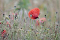 La pradera (seguicollar) Tags: amapolas espigas hierbas praderas rojo red campo campiña primavera spring virginiaseguí plantas nikond7200 flower flores