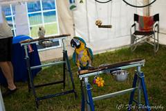 DSC_8801 (fjaphotography.co.uk) Tags: birds birdsofprrey daresbury steam england unitedkingdom gb