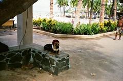 Ambassador of Aloha (mid-90's) (jcc55883) Tags: dog kuhiobeachpark kalakauaavenue waikiki honolulu hawaii oahu film filmphotography 35mmfilm canon