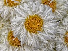ruffled (Luana 0201) Tags: ruffled daisies white yellow flower daisy