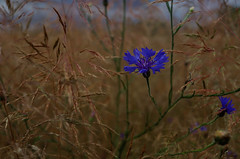 cornflower (julia schu) Tags: berlin blume blüte blau blue kornblume gewitter wolkig clouds tempest pentax k30