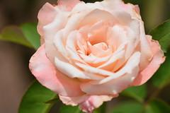 Unusual Beauty (npbiffar) Tags: garden outdoor plant rose white pink npbiffar macro bokeh d7100 nikon sigma 150mm dreamy orlando