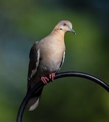 White-winged Dove on Feeder (mharoldsewell) Tags: 2017 arizona d7200 nikon santacruzcounty sigma150600mmhsmos sigma150600mmhsmossport sigma150600mmsport sigma150600mmf5063hsmapodgos whitewingeddove zenaidaasiatica mharoldsewell mikesewell photos
