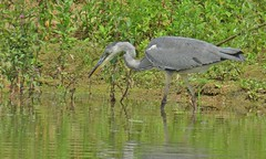 Stalking dinner (donnasmith13) Tags: greyheron heron bird grey lake fishing river catchingfish lackford lakesbirdwildlifebig beaklong legs