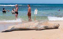 Unselfconcious Sleeper (_quintin_) Tags: hawaiian monk seal poipu kauai animal marine mammal beach