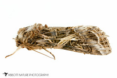 Yellow-striped Armyworm Moth - Hodges#9669 (Spodoptera ornithogalli) 20170624_3700.jpg (Abbott Nature Photography) Tags: animals arthropodaarthropods endopterygota hexapoda insectainsects invertebratainvertebrates lepidopterabutterfliesmoths neoptera noctuidaeowletmothsmillermoths noctuoidea organismseukaryotes photography pterygota technique moth whiteseamlessbackground gordo alabama unitedstates us